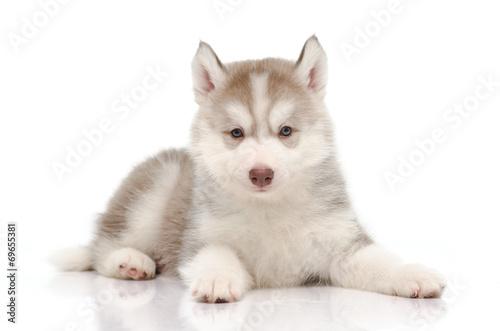 Cute little husky puppy © lalalululala