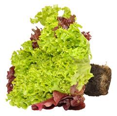 Fresh Living Lettuce