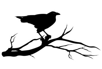 raven bird on tree branch