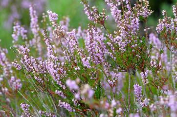 flowering heathers