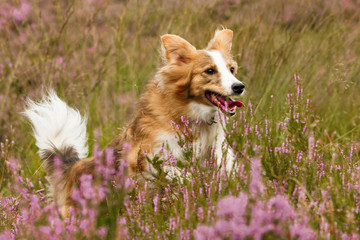Springender Collie in Heide