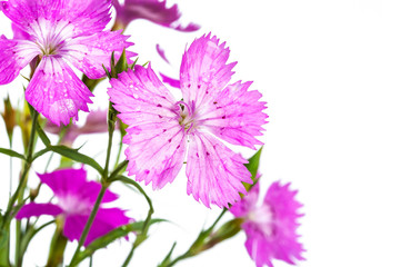 flowers of wild carnation