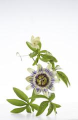 Fleur de la passion bleue