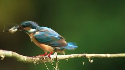 Common Kingfisher got the fish in nature of Thailand