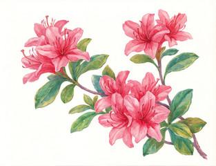 Акварельные цветы, розовый рододендрон.