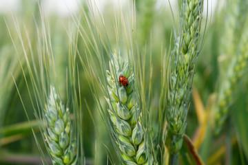 Ladybug on wheat ear, close-up