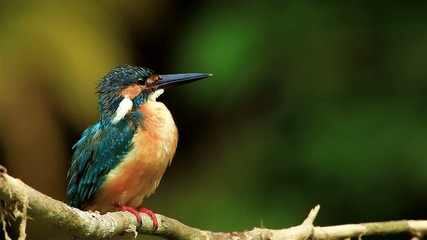 Common Kingfisher cleaning herself in nature