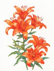 Акварельные цветы, оранжевые лилии.