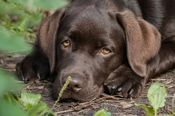 Cute lonely brown labrador puppy