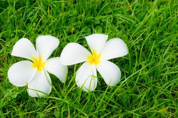 Plumerias on a grass