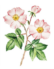 Rose bush flower botanical watercolor