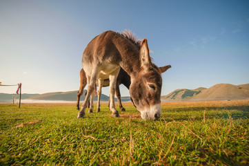 Donkey eating the grass in the foothills of the Monte Sibillini