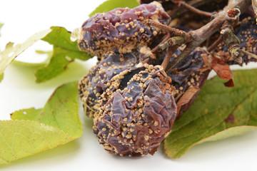 Closeup of mouldy, rotten plums
