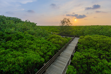Mangrove forest with wood Walk way