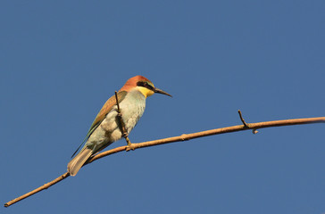 gruccione (Merops apiaster) su ramo