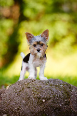 adorable small puppy standing on a stone