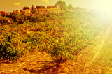 a vineyard in a mediterranean country lit by the evening light