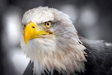 American Eagle (Haliaeetus leucocephalus)