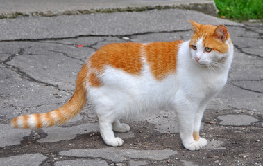Fat cat walking on the paved road.