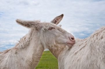 two cuddling white donkeys standing on the pasture