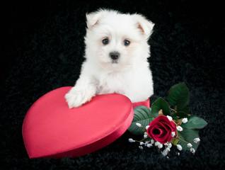 Maltese Love