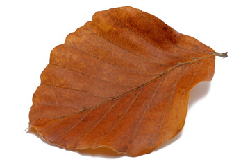 buchenblatt