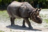 Lesser one-horned rhinoceros also known as a Javan rhinoceros