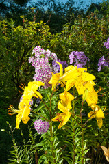 yellow lily and violet phlox growing in the garden