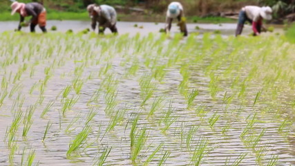 rice sprouts in farm and farmers planting