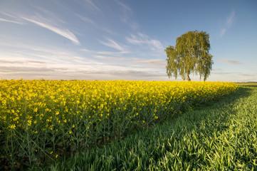 Wiosenne pole rzepaku w Polsce