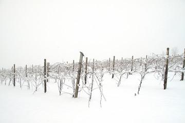 vigneto in inverno con neve