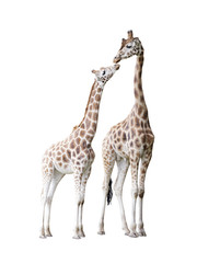 Two standing giraffes with clipping path