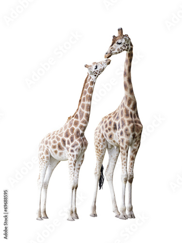 Fotobehang Giraffe Two standing giraffes with clipping path