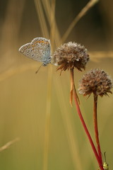 Argus bleu ou azuré commun