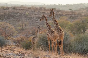 Pair of giraffes walking free