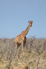 Giraffa in Namibia