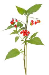 Poisonous Solanum dulcamara branch