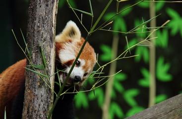 Kleiner roter Panda genießt Herbst Sonne