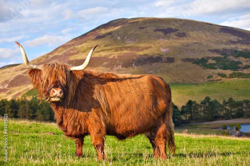 Foto op Aluminium Koe Highland angus cow