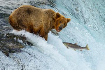 Braunbär beim Lachsfang (Alaska/USA)