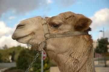 profilo di cammello