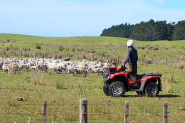 Shepherd during Sheep herding in New Zealand