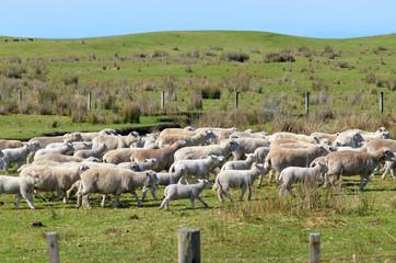 Flock of sheep during herding