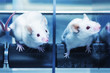 Laboratory mice in the experiment test. Blue filter.