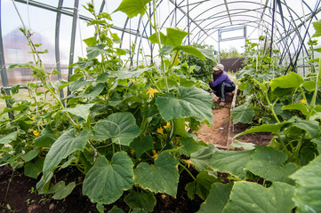 Сбор урожая в теплице