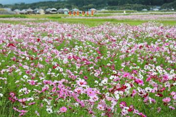 藤原宮跡のコスモス畑