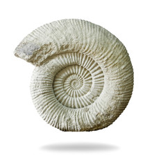 Ammonite prehistoric fossil on white background.