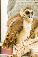 Brown faced owl
