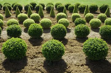 Viele Buchsbaumbüsche in der Baumschule
