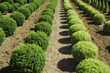 Buchsbaumkugeln in Reihen angeordnet